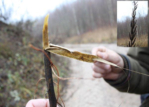 Nakvišos (Oenothera) pluoštą paruošia Gamta.