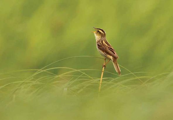"""Renatas Jakaitis. """"Pavasario giesmė"""". (Geriausias nominacijos """"Paukščiai"""" darbas)"""