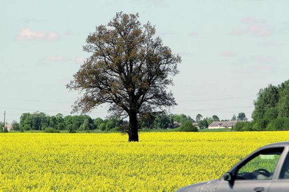 Pasklidus žiniai apie rapsuose rastą genetinę modifikaciją, ūkininkai piktinosi dėl nepakankamos sėklų kontrolės. Petro Malūko nuotr.