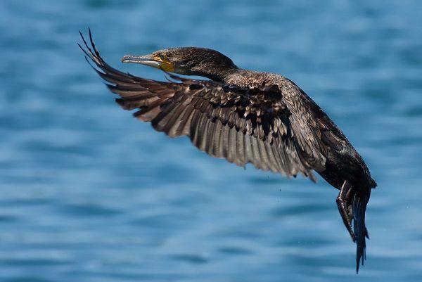 Didysis kormoranas (Phalacrocorax carbo). Wikimedios nuotr.