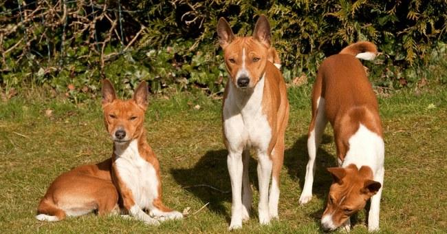 seniausi Žemės šunys, kurie nemoka loti  ©knowledgenuts.com