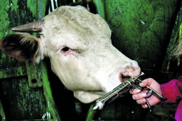 Gyvulininkystėje antibiotikai naudojami siekiant kuo greičiau ir kuo daugiau gauti ekonominės naudos, todėl apie pasekmes vartotojų sveikatai numojama ranka. microbewiki.kenyon.edu nuotr.