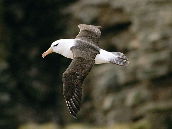Juodakaktis albatrosas