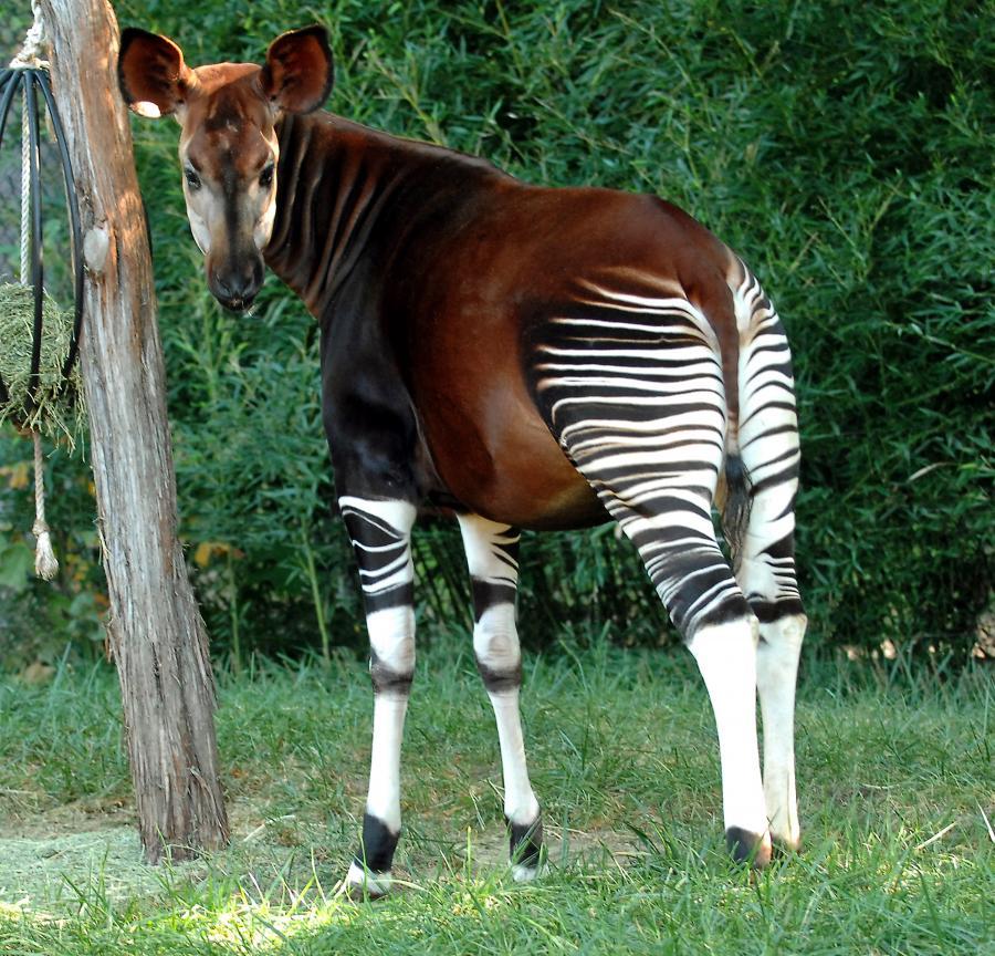 Okapi arba miško žirafa.
