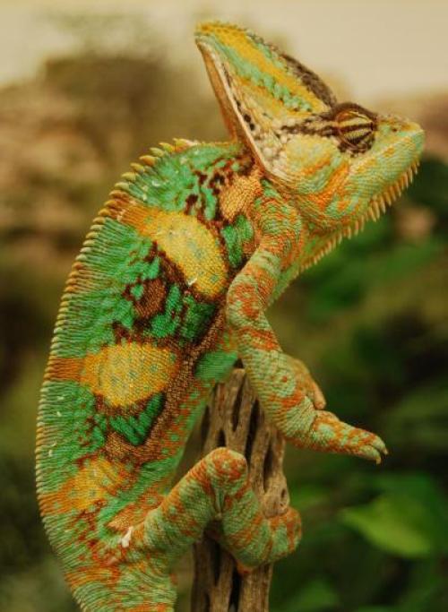 Žavusis Chameleon calyptratus, labiausiai paplitęs Jemene bei Saudo Arabijoje  ©Megan Best